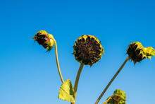 Three Long Green Stems With Dead Sunflowers. There Is A Blue Cloudless Sky In The Background.