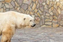 Portrait Of A Polar Bear In A Zoo
