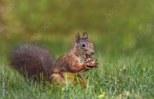 Sitendes Eichhörnchen mit einer Nuss