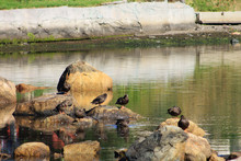 Ducks Standing On Rocks, All Of Them With Their Heads Tucked In Preening Themselves.