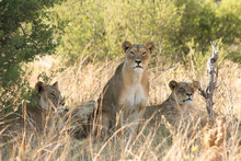 Three Lionesses Resting In A P...