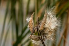 Milkweed Seeds In The Wind