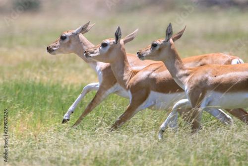 Blackbuck Antelope Does
