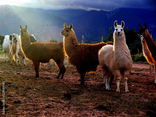 Poster Lama llamas