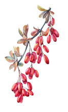 Watercolor Barberry Branch With Red And Ochre Leaves