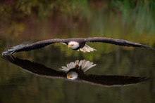 Male Bald Eagle Flying Over A ...