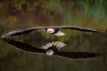 Fototapeta Ptaki Male Bald Eagle Flying Over a Pond Casting a Reflection in the Water with Fall Color