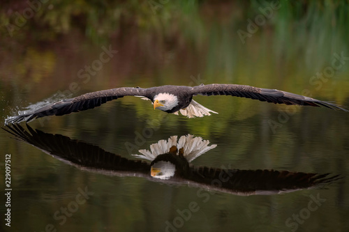 Foto auf Leinwand Adler Male Bald Eagle Flying Over a Pond Casting a Reflection in the Water with Fall Color