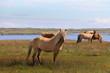 Islandpferde an einem See