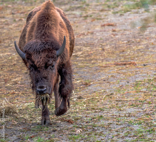 Earth Toned Fur on a Large Bison Grazing