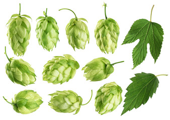 Hops and hop leaves isolated on white background.