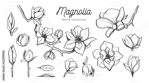 Valokuva Magnolia flower set. Vector hand drawn botanical