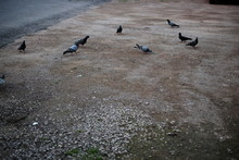 Flock Of Birds Pigeons Stand On The Road