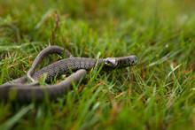 Grass Snake, Shallow Depth Of ...