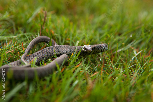 Grass Snake, shallow depth of field with focus on its head