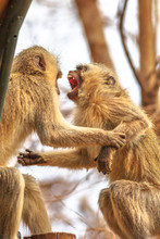Two Angry Vervet Monkeys With An Open Mouth Fight For Leadership. The African Monkey, Chlorocebus Pygerythrus, Is Of The Family Cercopithecidae. Kruger National Park, South Africa.