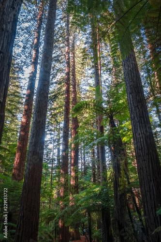 Poster Oceanië Giant Sequoia redwood forest, Rotorua, New Zealand