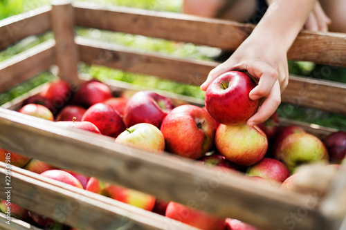 A child's hand putting an apple in a wooden box in orchard. Fotobehang