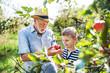 Leinwanddruck Bild - A senior man with grandson picking apples in orchard in autumn.