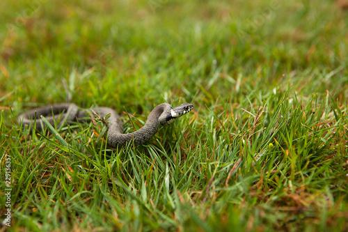 Hunting Grass Snake