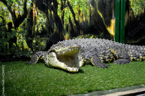 crocodile with mouth wide open