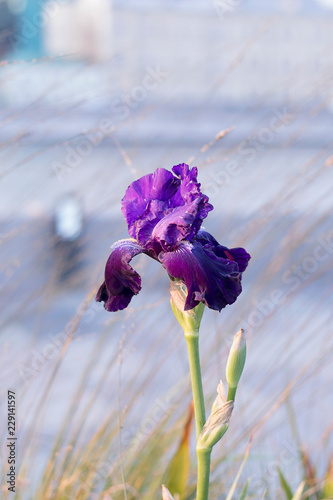 Violet iris flower (Iris scariosa) on defocused light background. Shallow depth of field. Vertical