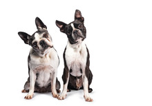Funny Duo Of Two Black And White Boston Terriers Sitting Beside Eachother, Looking To Camera With Tilted Heads, Isolated On White Background
