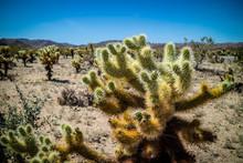 Chain Fruit Cholla Cactus In J...