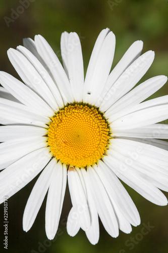 In de dag Madeliefjes daisy close-up