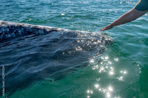 baby grey whale nose at sunset in pacific ocean