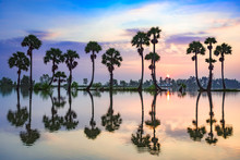 Palm Trees On Rice Paddy In Su...
