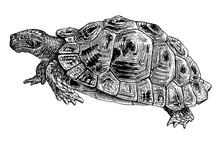 Common Tortoise Engraving Vintage Illustration