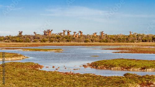 Fotografie, Obraz Baobab forest and savannah