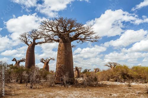 Canvas Print Baobab forest and savannah