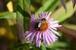 Schwarzbiene auf lila Aster