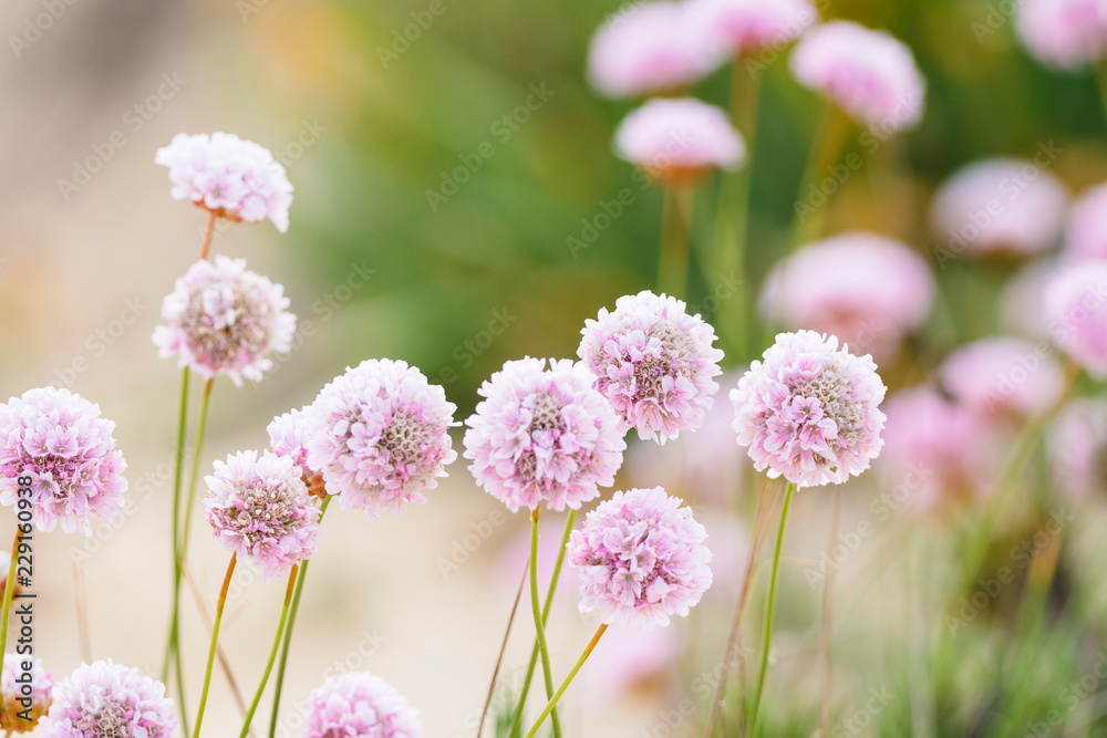 Fototapety, obrazy: Beautiful delicate pink flowers to be found on dunes of Algarve coast, Portugal