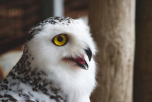 Close-up Of A Snowy Owl (Bubo Scandiacus) With Big Yellow Eye And Open Beak