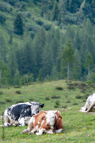 Fotobehang Olijf Cows resting on a mountain meadow in the Italian Dolomites on a summers Afternoon