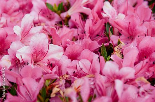 Spoed Fotobehang Roze Pink Rhododendron or Azalea blossom flowers in spring time, Nagoya - Japan