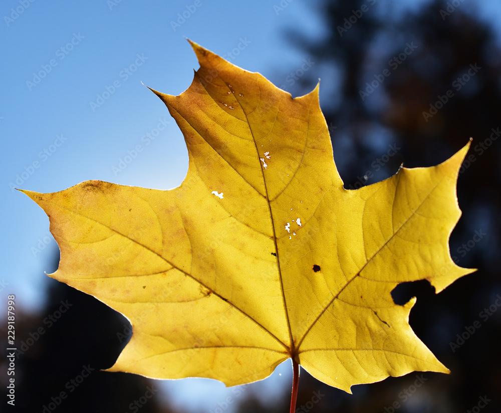 Fototapeta żółty jesienny liść