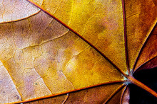 Abstract Close Up Of Autumn Leaf On Black Background