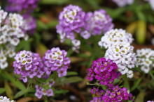 A Mix Of Purple, Lavender And White Sweet Alyssum Blossoms In My Garden.