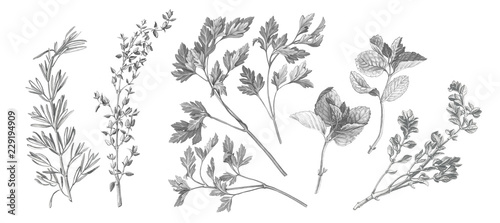 Valokuvatapetti Garden Herbs Pencil Illustration Isolated on White