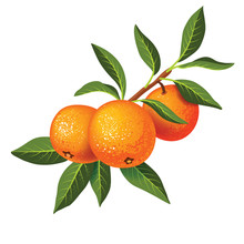 Sprig With Three Tangerines And Green Leaves.