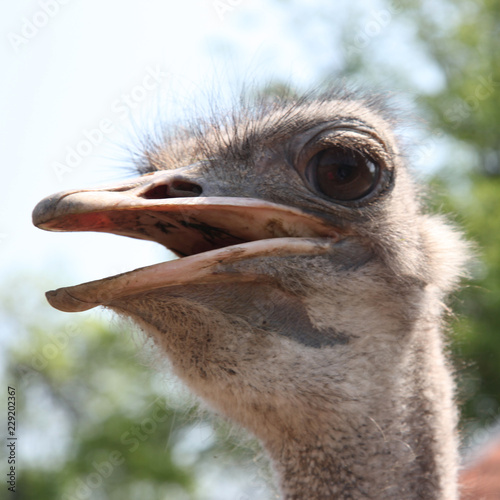 Spoed Foto op Canvas Struisvogel portrait of an ostrich