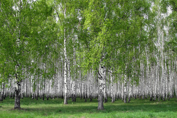 FototapetaBeautiful birch grove in early spring