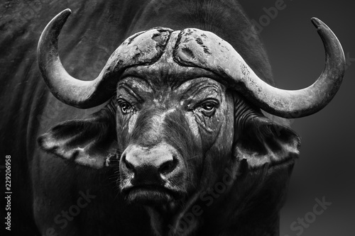 Buffalo bull close up portrait. Black and white. Syncerus caffer fine art