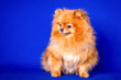 canvas print picture - A very nice red Pomeranian doggy in the blue background in a studio.