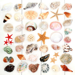 Fototapeta Large seashell collection on rustic white wood background. Top view.