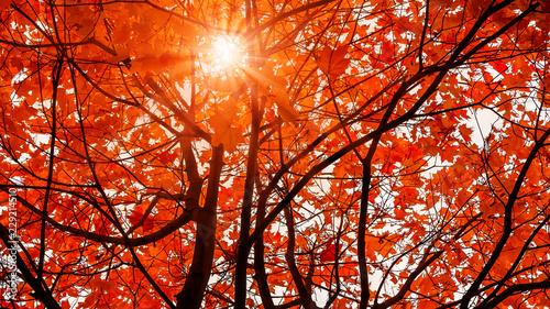 Montage in der Fensternische Rot kubanischen Beautiful autumn landscape. The sun shines through the leaves of orange maple